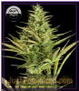 Dinafem Auto Cheese XXL Female 5 Weed Seeds